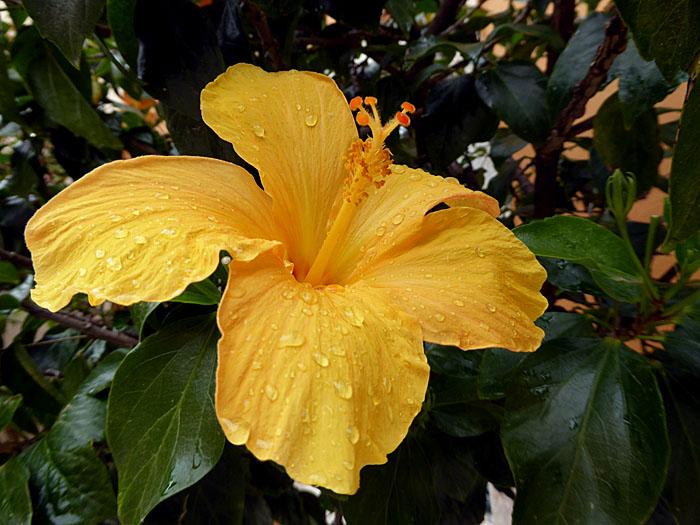 Foto van gele bloem met druppels