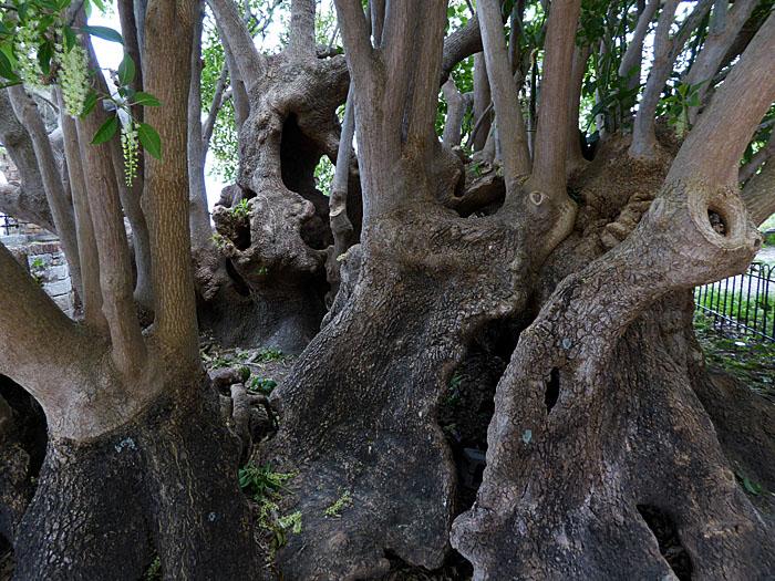 Foto van grillig vergroeide boom