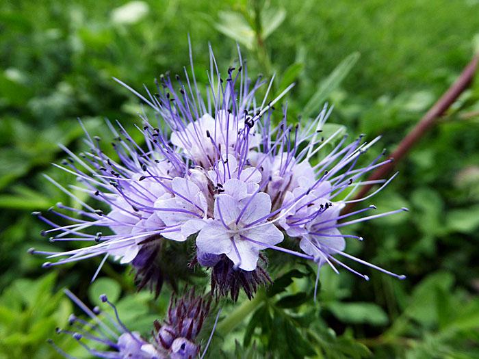 Foto van lichtblauwe bloemetjes met lange meeldraden
