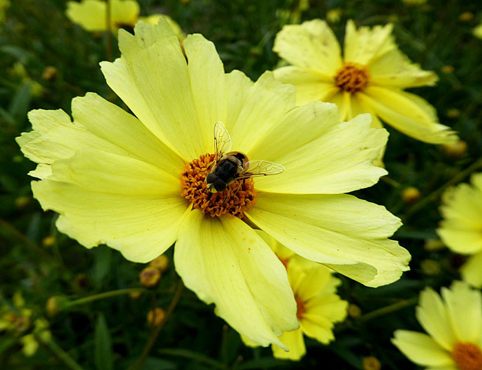 Foto van insect op gele bloem